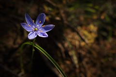 Blue Star, Grampians, Victoria, Australia (Red Nomad OZ) Tags: grampians grampiansnationalpark outdoor victoria australia flower wildflower blue nature macro light
