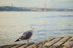 (Rhia.photos) Tags: seagull bird nature urbannature river tagus bridge tejo 25deabrilbridge ponte25deabril ponte image photograph photography photo light colors colours hss sliderssunday happysliderssunday perspective angle