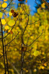 aspenBlast (blancopix) Tags: aspen leaves bokeh trees blue sky autumn colorado nature