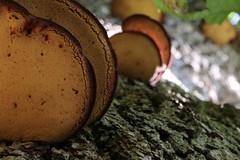 Mushroom bokeh (RW-V) Tags: canoneos70d canonef100mmf28lmacroisusm palaisparchetloo palaceparkhetloo paleisparkhetloo apeldoorn mushrooms paddestoelen champignons pilze natur nature sooc 100faves 150faves 175faves 200faves 225faves 250faves 275faves