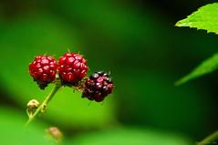 Fruits défendus ! (Phil du Valois) Tags: ronce forêt forestier mûre