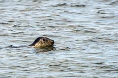 Wild (syf22) Tags: seal swim sea wild wildlife nature free primitive undomesticated tribe marine animal carnivores