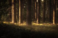 this is not endor (Blacklight Fotografie) Tags: wald forest anholt anholterschweiz licht lichtstimmung sonne sun grün gelb green yellow nrw deutschland germany hdr
