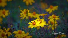 Flowers (Jeffrey Balfus (thx for 2.5 Million views)) Tags: monterey sonyilce6300 sony6300 sonyalpha mirrorless sonyemount sonya9mirrorless sonyilce9 fullframe sony100400mmgsel100400gm