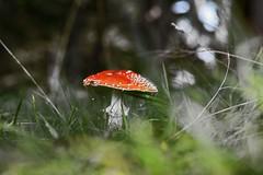 FLIEGENPILZ . TOADSTOOL (LitterART) Tags: flyagaric toadstool fliegenpilz mushroom 50mm nikon nikond800 fx pilz pilze gaberl nature