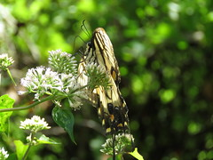 IMG_0914 (Usagi93190) Tags: tiger swallowtail butterfly insect macro proxi tampa florida lettuce lake nature outdoors