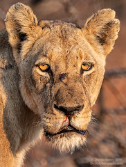 The Weary Warrior (Dwood Photography) Tags: the weary warrior thewearywarrior lion lioness tan brown africa 2018 yellow blood