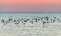 _DSC2611.jpg (David Hamments) Tags: ngc ferminuclearpowerplant colchesterharbour sunset flockofbirds birdsonthewater fantasticnature
