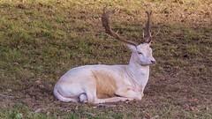 fallow deer (JOHN BRACE) Tags: dama fallow deer seen british wildlife centre surrey england a hrefhttpswwwbritishwildlifecentrecouk relnofollowwwwbritishwildlifecentrecouka