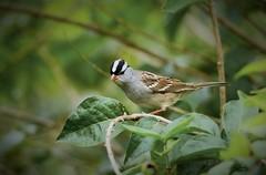 White-crowned Sparrow by Jackie B. Elmore 10-10-2018 Lincoln Co. KY (jackiebelmore) Tags: zonotrichialeucophrys whitecrownedsparrow sparrow winterresident lincolnco kentucky nikon7100 tamronsp150600f563 jackiebelmore kos