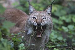 1809Lynx008a (Stefan Heinrich Ehbrecht) Tags: luchs lynx bobcat raubkatze jäger predetor