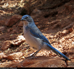 20160825_14 Woodhouse's Scrub-Jay (Aphelocoma woodhouseii) on Bright Angel Trail in Grand Canyon, Arizona (ratexla) Tags: nonhumananimals ratexlasgreentortoisetrip2016 ratexlascanyonsofthewesttrip2016 greentortoise canyonsofthewest 25aug2016 2016 canonpowershotsx50hs brightangeltrail grandcanyon arizona usa theus unitedstates theunitedstates america northamerica nordamerika earth tellus photophotospicturepicturesimageimagesfotofotonbildbilder wanderlust travel travelling traveling journey vacation holiday semester resaresor roadtrip ontheroad sommar summer beautiful nature landscape scenery scenic desert sandstone hiking hike wildlife animal animals nonhumananimal cute cool biology zoology djur bird birds fågel fåglar ornithology wild vild vilda life organism dinosaurie dinosaurier dinosaur dinosaurs blue blå woodhousesscrubjay aphelocomawoodhouseii