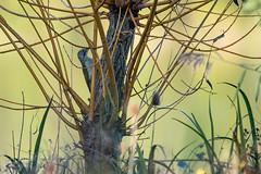Pic Vert (denis.loyaux) Tags: ariège denisloyaux domainedesoiseaux europeangreenwoodpecker mazères nikondd850 nikonafs600f4vr picvert picidés piciformes picusviridis bird france oiseau