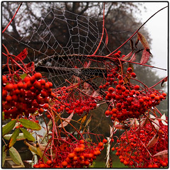 288.2 Web browser (Dominic@Caterham) Tags: berries damp wet droplets tree sky autumn