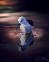 Wader in light (Mandyjj543) Tags: waders light water reflection bird birds stilt ripples canon wildlife wings feathers