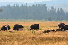 Teaton 0264 (mart.panzer) Tags: teaton yellowstone us usa nationalpark nature scenic top highlights attractions must see awesome best bestof landscape elk bison teton grandteton bear
