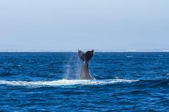 whale2Oct5-18 (divindk) Tags: anacapa anacapaisland channelislands channelislandsnationalpark humpbackwhale megapteranovaeangliae sanmiguelisland santabarbara santacruzisland santarosaisland underwater ventura blueocean cetacean diverdoug flukes marine marinemammal ocean reef sea underwaterphotography whale whaletail