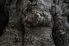 Beech Trunk (Broot Thanks for 1 million views!) Tags: mountauburncemetery tree trunk beech europeanbeech autumn fall october fagussylvatica bark