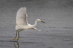 Snowy Egret (Greg Lavaty Photography) Tags: snowyegret egrettathula texas october cullinanpark fortbendcounty birdphotography outdoors water bird nature wildlife