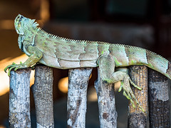 Iguana (elzauer) Tags: iguana lizard tropicalrainforest animal animalwildlife animalsinthewild brazil greencolor greeniguana iguanafamily landscape latinamerica outdoors photography planting reptile scenicsnature southamerica sunlight sunny theamericas
