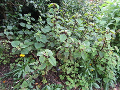 Plectranthus fruticosus (wallygrom) Tags: england westsussex haywardsheath handcross nymans nymansgarden nt nationaltrust
