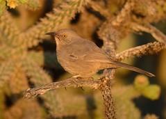 2018-09-28 Green Valley, AZ 1 (JanetandPhil) Tags: 20180910artxaznmvacation birds curvebilledthrasher toxostomacurvirostre nikon nikkor d800 800mmf56 greenvalleyaz