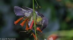 """5-No se me había ocurrido que su nombre común de """"PINCHITA"""" podía estar asociado al acto de """"PINCHAR"""" las flores para extraer su nectar como puede apreciarse en esta serie. Solo hoy se me ha encendido el bombillo sobre esta curiosidad (Cimarrón Mayor 16,000.000. VISITAS GRACIAS) Tags: ordenpasseriformes familiathraupidae génerocoereba pinchita pincha ciguirillin platanero bananaquit cigüita ciguítacomún mielero mielerocejiblanco mielerocomún plataneracomún reinita reinitacomún reinitamielera nombrecientificocoerevaflaveolabananivora nombreinglesbananaquit lugardecapturarrpsantodomingo repdom ave vogel bird oiseau paxaro fugl pássaro птица fågel uccello pták vták txori lintu aderyn éan madár cimarrónmayor panta pantaleón josémiguelpantaleón objetivo500mm telefoto700mm 7dmarkii canoneos canoneos7dmarkii naturaleza libertad libertee libre free fauna dominicano pájaro montañas dominicanrepublic quisqueya repúblicadominicana caribe républiquedominicaine caraïbes caraibi repubblicadominicana dominikanischerepublik karibik karaiby dominikana dominikarerrepublika karibe dominikanskerepublik caribien dominikanskerepublikk karibien"""