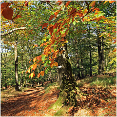 gileppe 3 (beauty of all things) Tags: belgien belgium jalhay gileppe hohesvenn autumn herbst leaves blätter quadratisch trees bäume