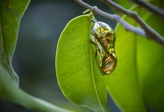 golden cocoon (gnarlydog) Tags: australia leaves moth butterfly cocoon gold shiny metallic nature animal closeup manualfocus adaptedlens vintagelens kodakanastigmat63mmf27 reflection shallowdepthoffield subjectisolation