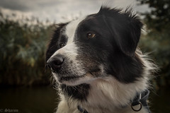 Ol' Sea Dog!!! (sharongellyroo) Tags: dodge bordercollie rescue norfolkbroads holidays river boats dogfriday