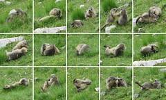 15 scènes de jeu entre marmottons (ViveLaMontagne67) Tags: france alpes alpen alps dévoluy bure aurouze montagnedaurouze marmotte marmotton jeune jeu animal viesauvage wildlife game young marmot meadow prairie