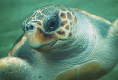 Sea Turtle (madbesl) Tags: valencia europa europe spanien spain aquarium l'oceanogràfic ciutatdelesartsilesciències seaturtle meeresschildkröte olympus omd em10 m10 omdem10 lumix20mmf17