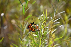 Lapham Peak State Park (Sarah Lawver (follow me on Instagram!)) Tags: laphampeakstatepark wisconsin usa america monarch monarchbutterfly pretty beautiful butterfly nikon nikond7500