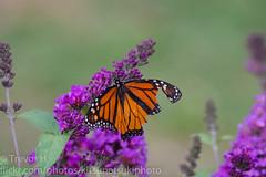 Monarch 3 (Kenjis9965) Tags: sonya7iii 150600mmf563dgoshsm|c sigma 150600mm f563 dg os hsm c contemporary mc11 converter sony a7 mark iii a7iii monarch butterfly bush feeding beautiful damaged wing nature insect flying