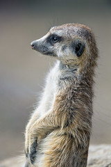Meerkat standing (Tambako the Jaguar) Tags: meerkat cute small mammal profile portrait close face standing attentive looking kinderzoo zoo knie switzerland nikon d5