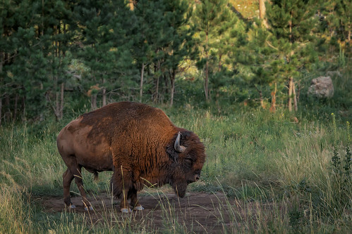 Wildlife in Custer State Park