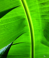Green Leaf 2 (caralan393) Tags: green leaf water drops curves abstract arty backlight rain wet