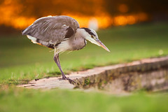 Daggars At Dusk (paulinuk99999 (lback to photography at last!)) Tags: paulinuk99999 greyheron bushypark sunset prey stalking dianafountain laea3 a73 a7iii sal70400g london wildlife aquatic bird fishing