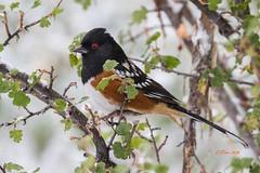 IMG_3097 spotted towhee (starc283) Tags: flickr flicker bird birding nature natures finest watcher wildlife starc283 towhee spotted animal grass rock