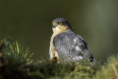 Male Sparrowhawk (zandy1978) Tags: portrait hawk birdofprey nature wildlife bird predator sparrowhawk raptor