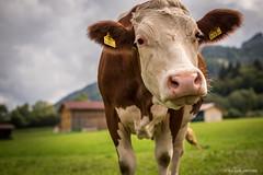 Meet Fräulein Marguerite (cedant1) Tags: cow vache weissensee carinthie animal farm wonderfulworld green field austria autriche mammal funny