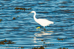 Little Egret; (Egretta garzetta)_Four Mile Bridge, Anglesy (Mick PK) Tags: anglesy bird blue coast egrettagarzetta fourmilebridge littlehouseofhorrors places sea uk wales water