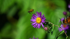 In the Garden (duaneschermerhorn) Tags: flower green purple yellow petals petal bee honeybee closeup