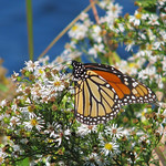 yesterday - the most migrating Monarchs on a single day! thumbnail
