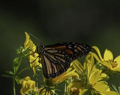 MonarchButterfly_SAF6896 (sara97) Tags: danausplexippus butterfly copyright©2018saraannefinke endangered missouri monarch monarchbutterfly nature photobysaraannefinke pollinator saintlouis towergrovepark