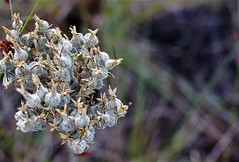 white fuzzy weeds (Twila1313) Tags: weed fuzzy flower bokeh field florida sonynex5n makinon28mmf28
