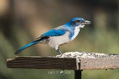 California Scrub-Jay (Aphelocoma californica) (emiliechenphotography) Tags: chilao angeles national forest autumn 2018 bird californiascrubjay aphelocomacalifornica