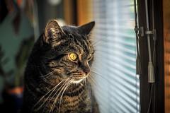 Vellu Kolli Koljonen (Mikael Neiberg) Tags: kissa cat window watching greeneyes catseye animal pet leicamacroelmaritr60mm28