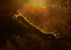 Glowing in the Sun..x (Lisa@Lethen) Tags: caterpillar hairy fence sunlight sunset weather nature macro bug