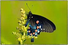 Pipeline Swallowtail (RKop) Tags: butterflies insects raphaelkopanphotography drnormanandmarthaadairwildlifemanagementarea kentucky
